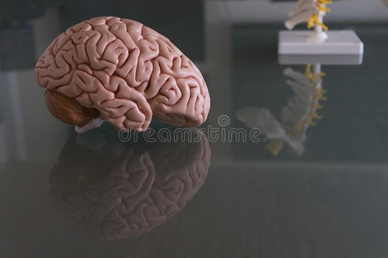 Brain model on table of medical office royalty free stock photos
