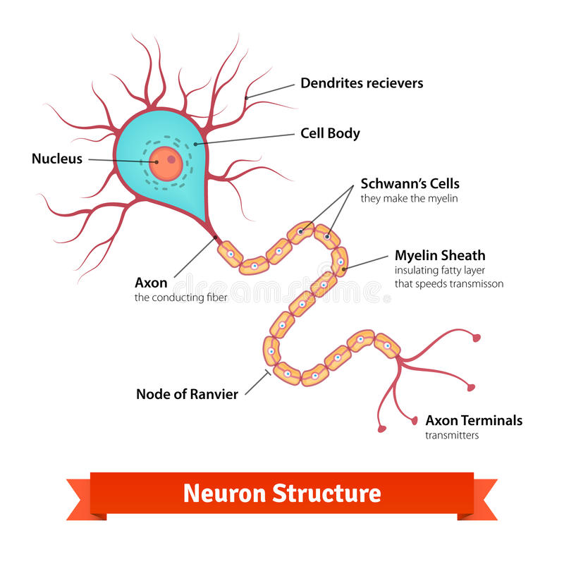 brain neuron cell diagram vector colorful illustration
