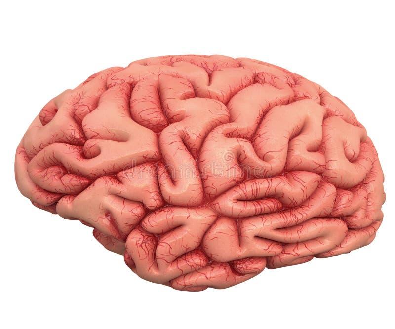 Brain Over White photo stock