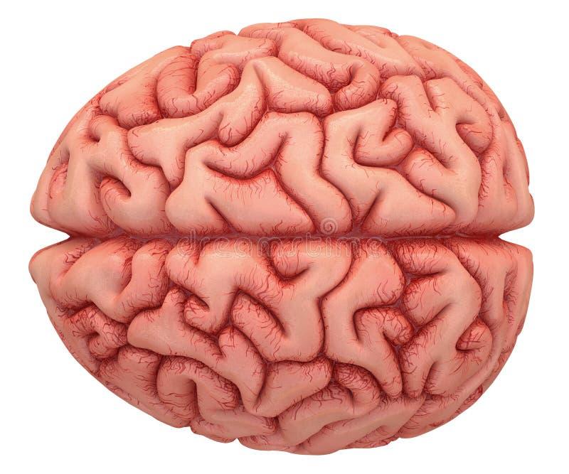 Brain Over White royalty-vrije stock fotografie