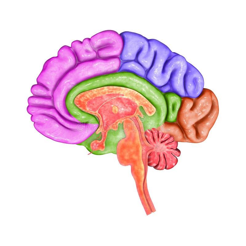 Brain Parts stock illustration. Illustration of ...