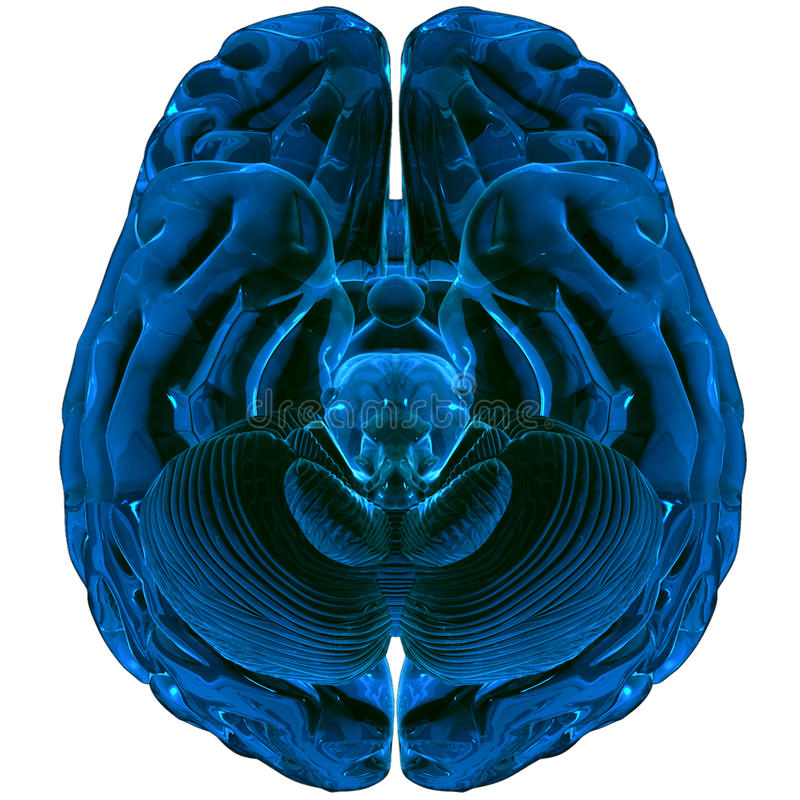 Brain rendered in 3D. MAX stock illustration