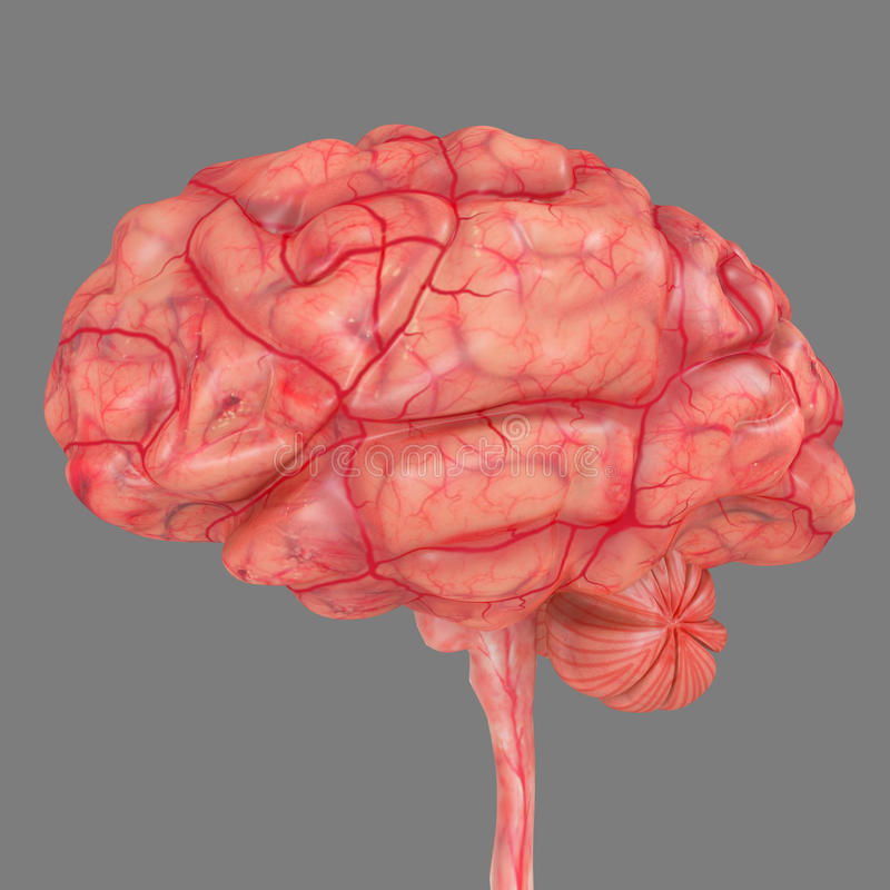 Brain side stock illustration illustration of cerebellum 44789838 the human brain has many properties that are common to all vertebrate brains including a basic division into three parts called the forebrain midbrain ccuart Images