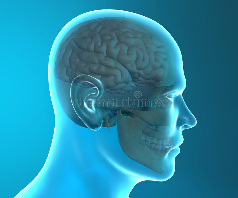 Brain Skull X-ray Head Anatomy Stock Illustration - Illustration of ...