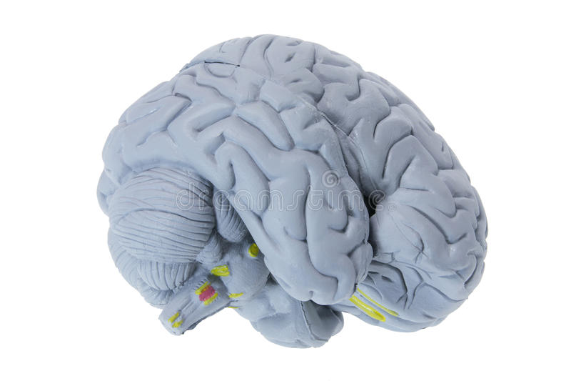 Brain Specimen. On White Background royalty free stock photo