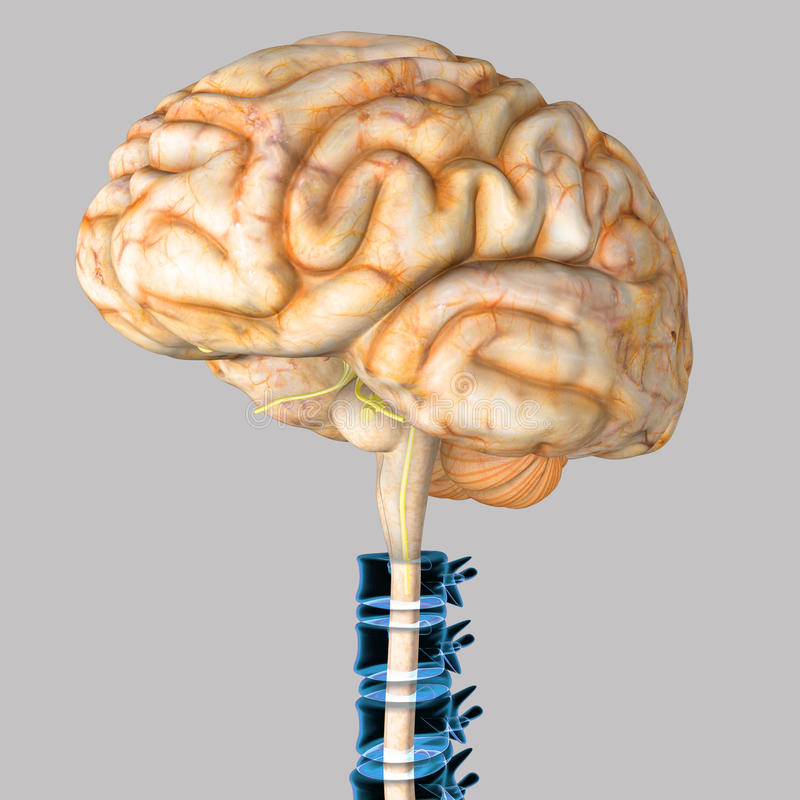 Brain spinal cord stock illustration. Illustration of genius - 71456338