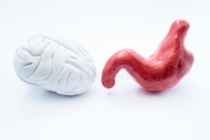 Brain and stomach. Anatomical models of human brain and stomach are on white background. Photo visualizing relationship of nervous stock photography