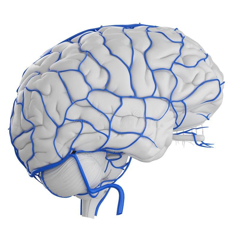 The brain veins vector illustration