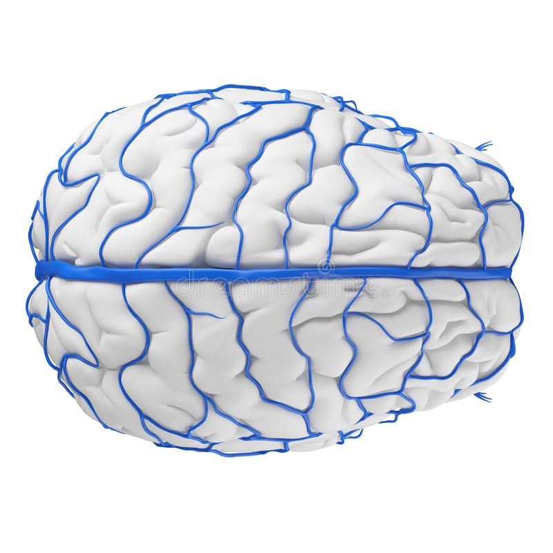 The brain veins royalty free illustration