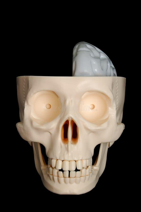 brained half skalle arkivbilder