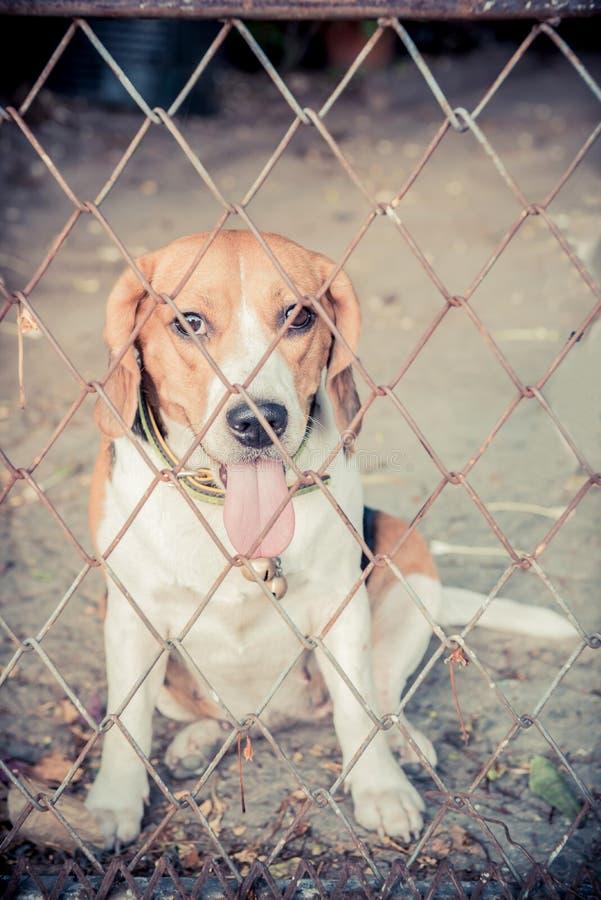 Brak, Puppyhond stock fotografie