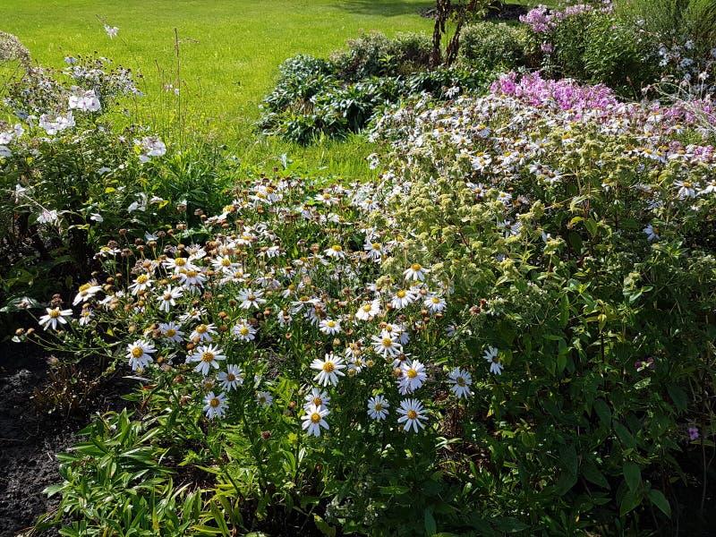 Brakhikoms Blume, Brachycome ein Kamillenblau eine Blume in einem Garten stockfotos