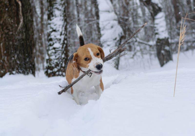 Brakhond die in de sneeuw lopen royalty-vrije stock fotografie
