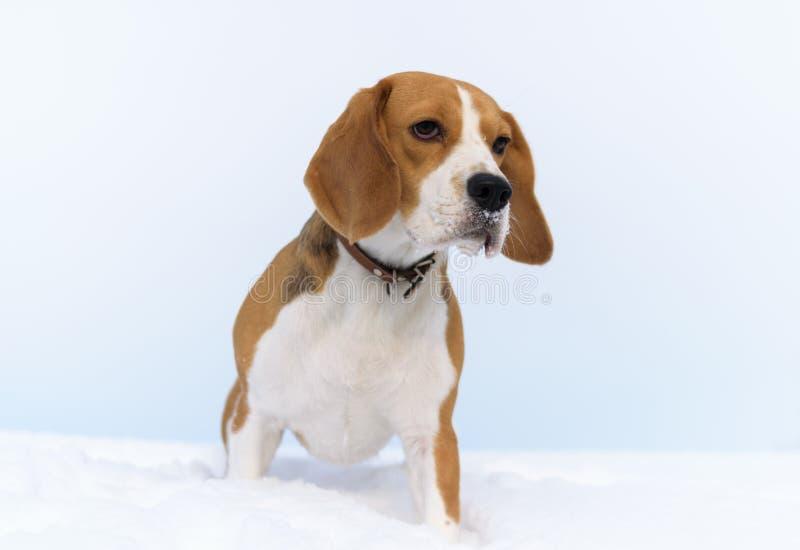 Brakhond die in de sneeuw lopen stock afbeelding
