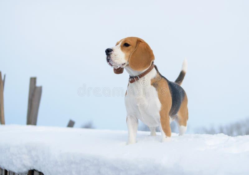 Brakhond die in de sneeuw lopen stock foto's