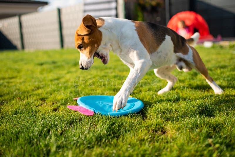 Brakhond die met een rond stuk speelgoed lopen stock foto
