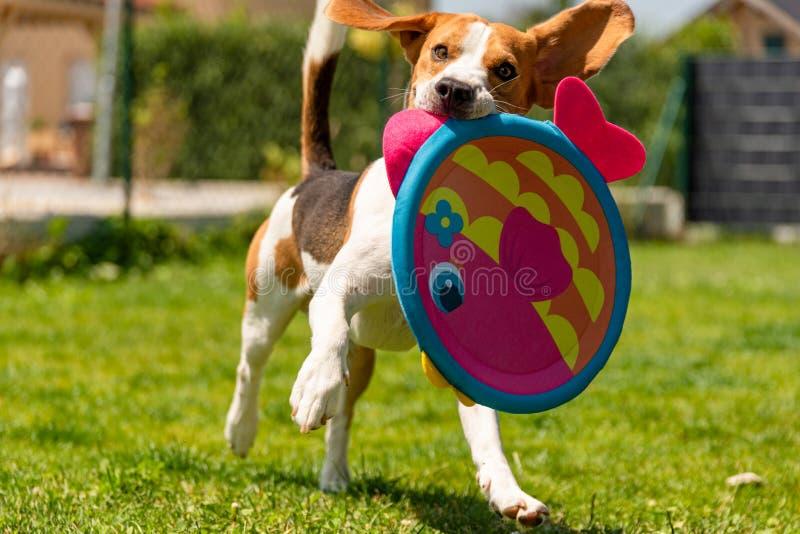 Brakhond die met een rond stuk speelgoed lopen royalty-vrije stock fotografie