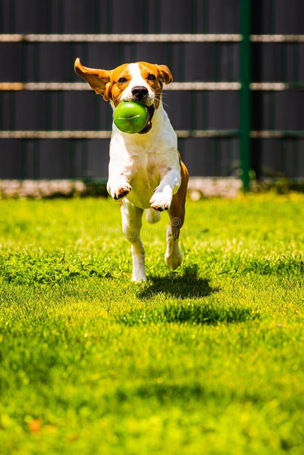 Brakhond die met een stuk speelgoed in tuin, naar de camera lopen stock afbeelding