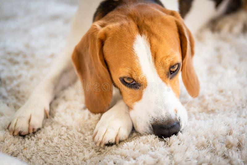 Brakhond die op een tapijt liggen die vermoeid kijken stock foto's