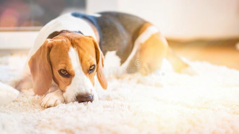 Brakhond die op een tapijt liggen die vermoeid kijken royalty-vrije stock afbeeldingen