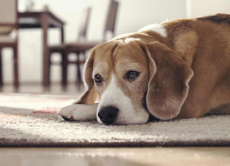 Brakhond die op tapijt in comfortabel huis liggen stock foto