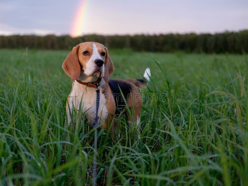 Brakhond op een achtergrond van een regenboog stock foto