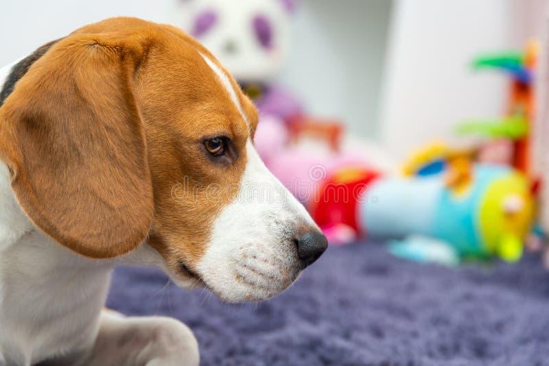 Brakhond op een tapijt in kindruimte wordt vermoeid, speelgoed op achtergrond die stock foto's