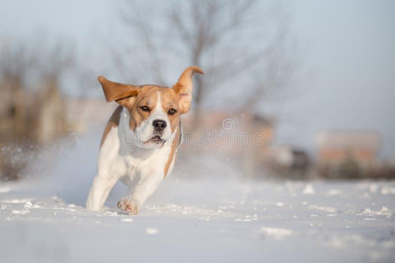 Brakhond in sneeuw stock afbeelding