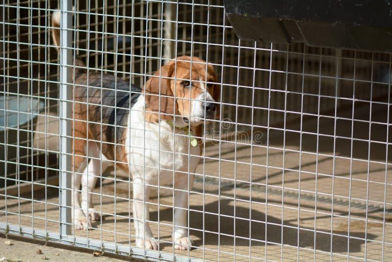 Brakhond in zijn kennel in een centrum van de hondredding stock afbeeldingen