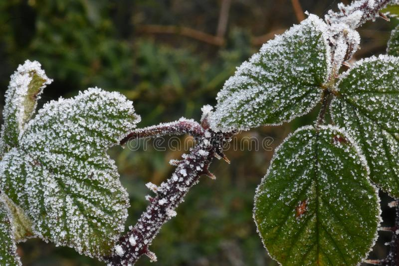 Bramble Leaves in Winter Endure The Early Morning Frost stock image