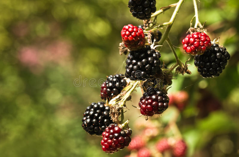 brambleberries riping summersun zdjęcia stock