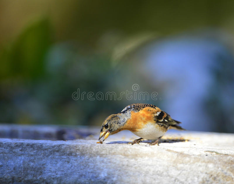 Brambling obraz royalty free