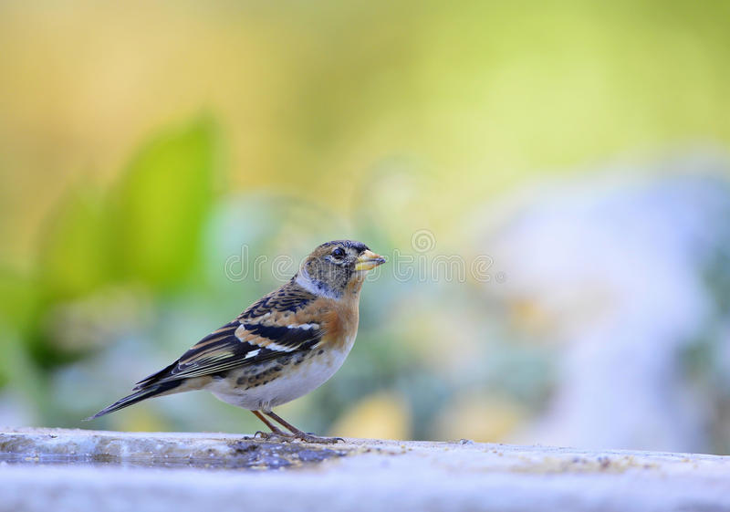 Brambling obrazy stock