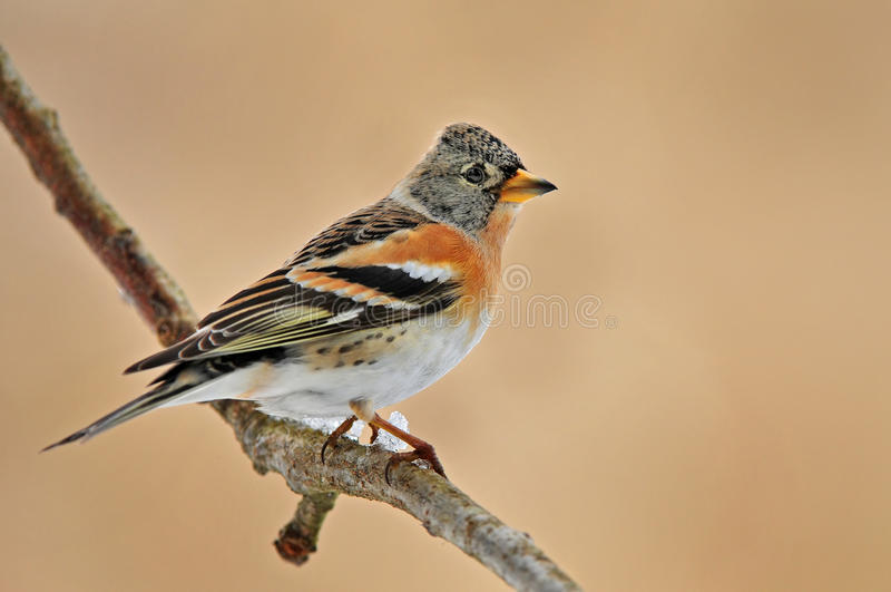 Brambling obrazy royalty free