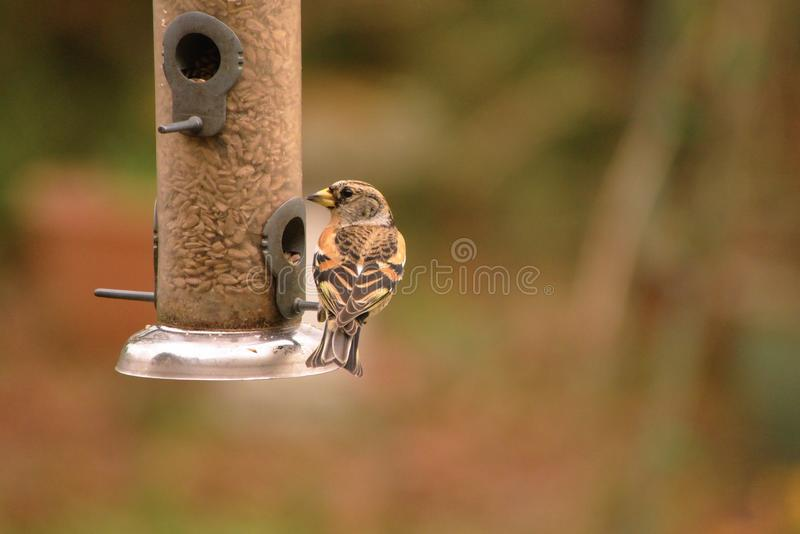 Brambling on the bird feeder. stock image