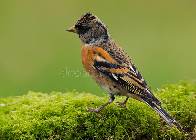 The Brambling bird (Fringilla montifringilla) royalty free stock image
