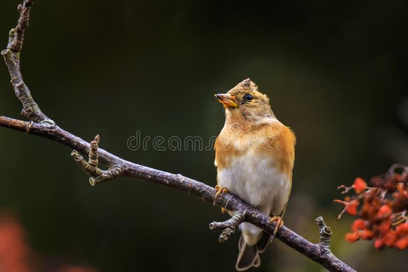 Brambling bird, Fringilla montifringilla, in winter plumage feeding berries royalty free stock photography