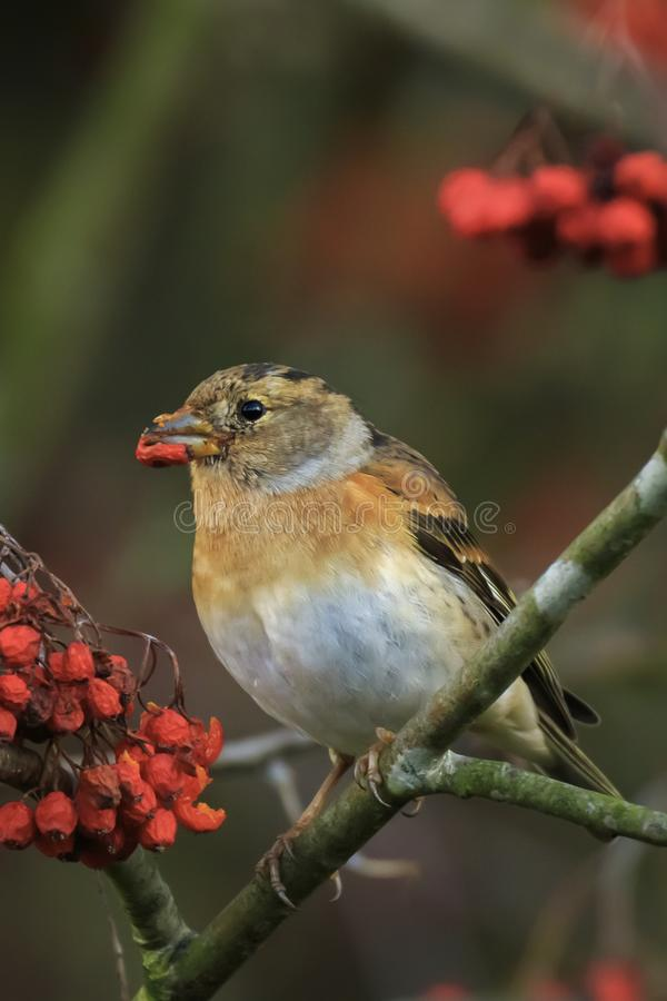 Brambling bird, Fringilla montifringilla, in winter plumage feeding berries stock photo