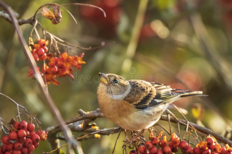 Brambling bird, Fringilla montifringilla, in winter plumage feeding berries royalty free stock photo