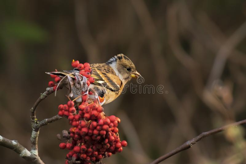 Brambling bird, Fringilla montifringilla, in winter plumage feeding berries stock photos