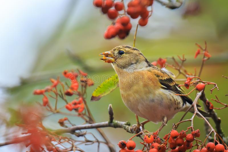 Brambling bird, Fringilla montifringilla, in winter plumage feeding berries. Closeup of a male brambling bird, Fringilla montifringilla, in winter plumage royalty free stock images