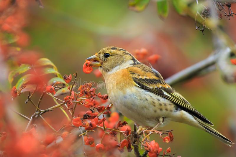 Brambling bird, Fringilla montifringilla, in winter plumage feeding berries. Closeup of a male brambling bird, Fringilla montifringilla, in winter plumage royalty free stock photos