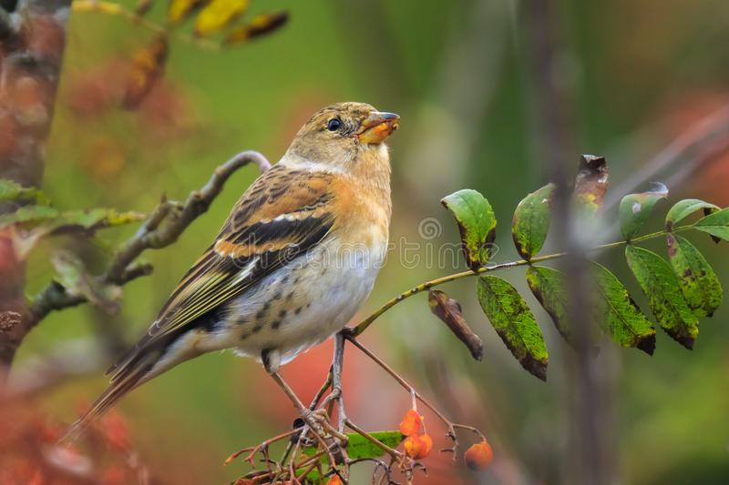 Brambling bird, Fringilla montifringilla, in winter plumage feeding berries. Closeup of a male brambling bird, Fringilla montifringilla, in winter plumage stock photo