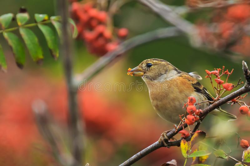 Brambling bird, Fringilla montifringilla, in winter plumage feeding berries stock images