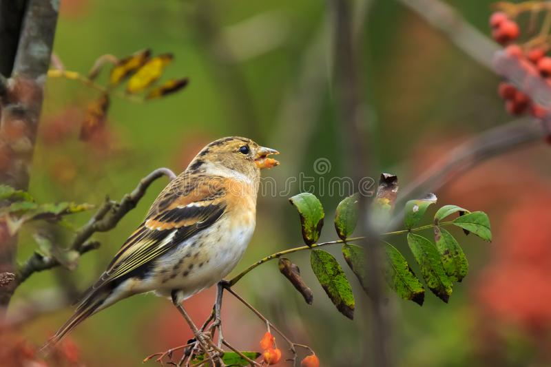 Brambling bird, Fringilla montifringilla, in winter plumage feeding berries. Closeup of a male brambling bird, Fringilla montifringilla, in winter plumage stock photos