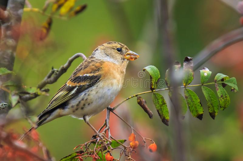 Brambling bird, Fringilla montifringilla, in winter plumage feeding berries royalty free stock images