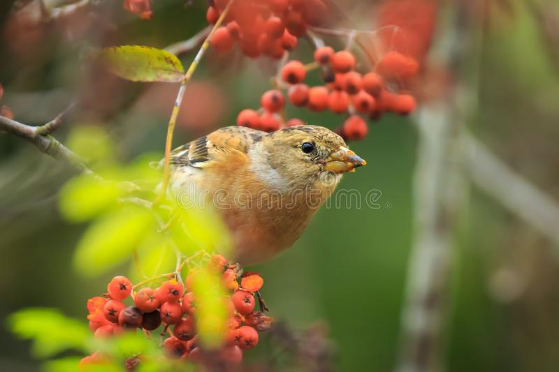 Brambling bird, Fringilla montifringilla, in winter plumage feeding berries stock image
