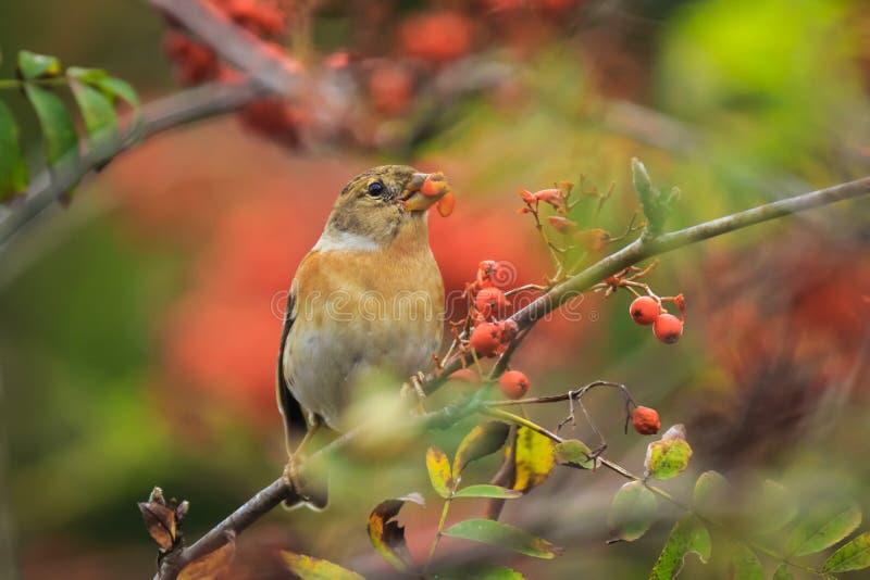 Brambling bird, Fringilla montifringilla, in winter plumage feeding berries stock photography