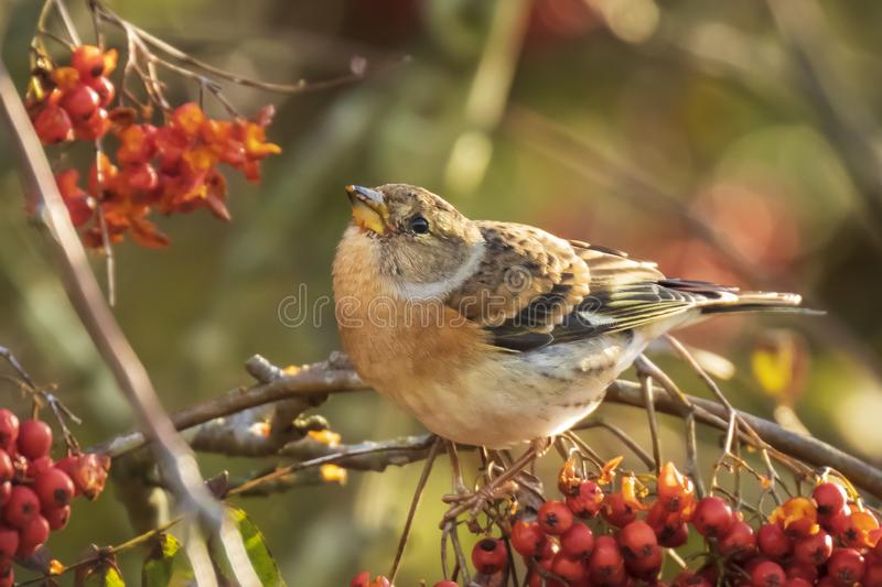 Brambling bird, Fringilla montifringilla, in winter plumage feeding berries. Closeup of a brambling bird, Fringilla montifringilla, in winter plumage feeding royalty free stock images