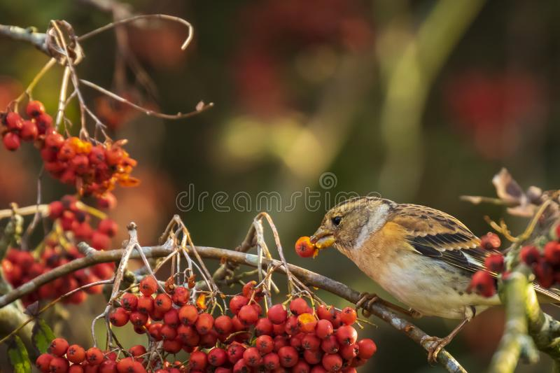 Brambling bird, Fringilla montifringilla, in winter plumage feeding berries. Closeup of a brambling bird, Fringilla montifringilla, in winter plumage feeding stock photos